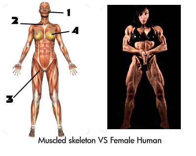 Pictures of Muscled skeleton verses Female human