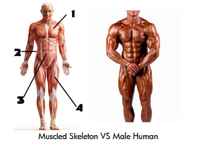 Muscled Skeleton Versus Male Human